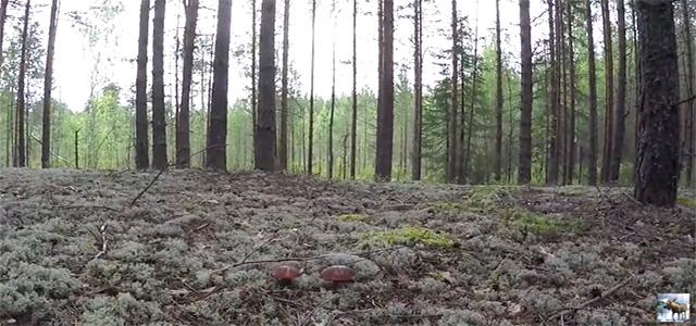 Белые грибы Красивый лес