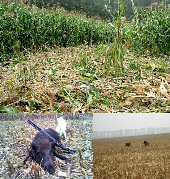 Охота на кабана в кукурузе