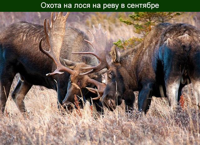 Охота на лося на реву в сентябре