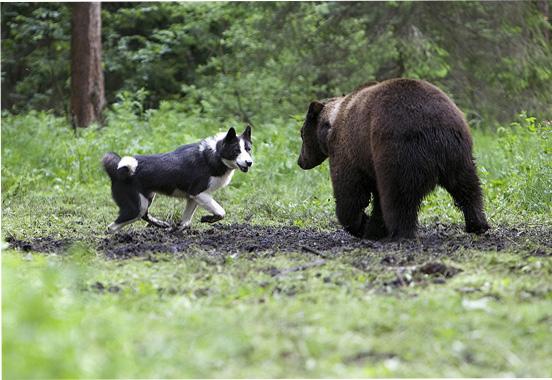 Охота на медведя с собакой