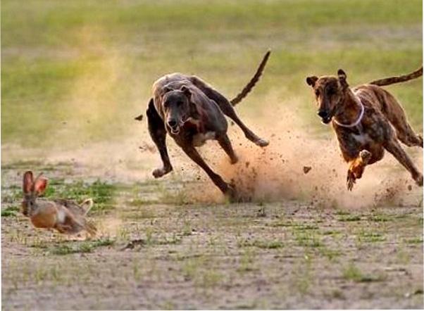 охота на зайца с гончими