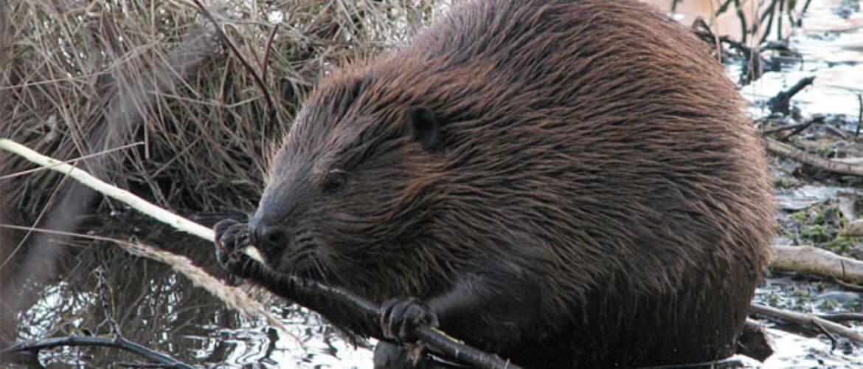 Охота на бобра – основные критерии успешного промысла