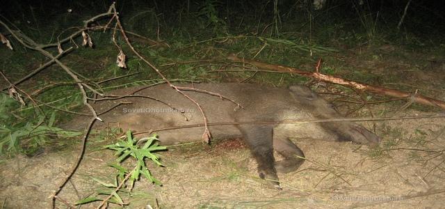 Охота на кабана с вышки