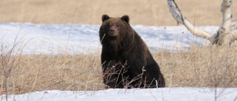 Охота на медведя весной